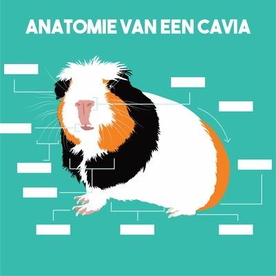 Anatomie van een cavia