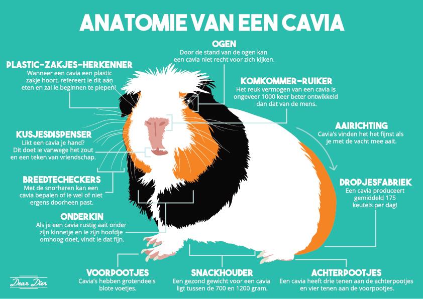 Infographic over cavia